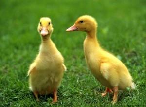 pekin ördek civcivi